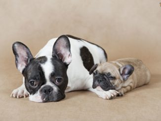 French Bulldog and Pup