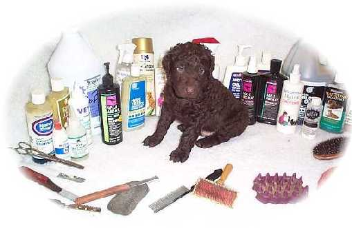 Grooming the Curly-coated Retriever