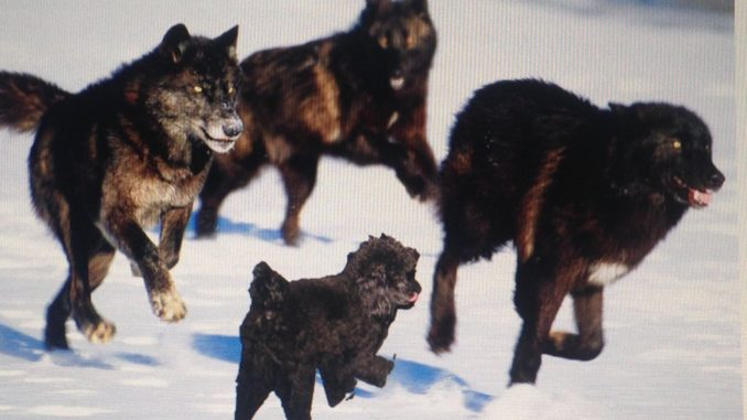 Wolves and Poodles