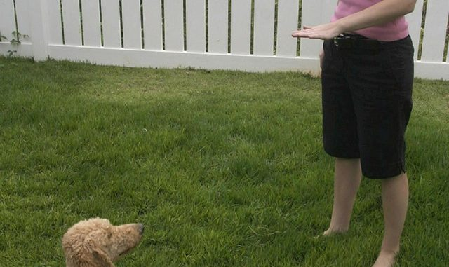 Teaching Your Puppy The Down, Stay Command