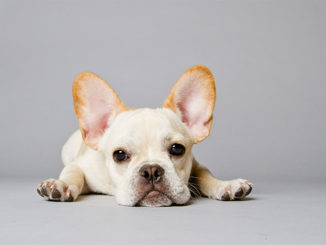 Ensuring the French Bulldog You Want to Buy is Healthy
