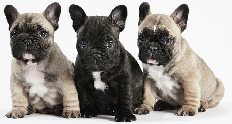 how to avoid problems when buying a french bulldog online