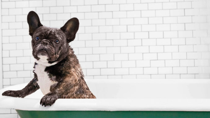 How to Groom Your French Bulldog