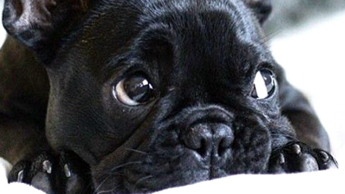 Why Do French Bulldogs Make a Great Choice as a Pet