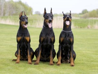 Doberman Pinscher Obedience Training